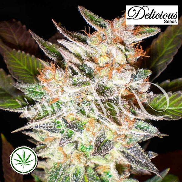 Delicious Candy Auto before Cheese Candy Auto
