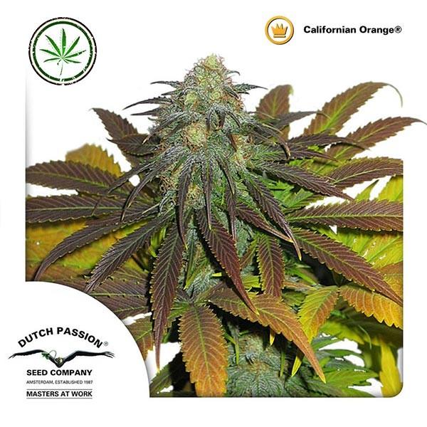 Californian Orange fem