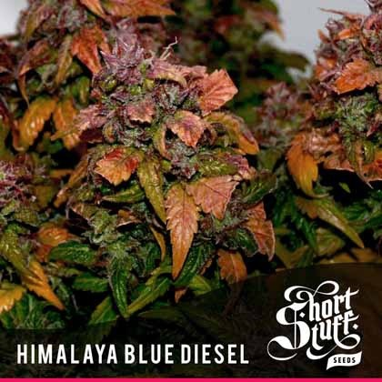 Himalaya Blue Diesel Auto