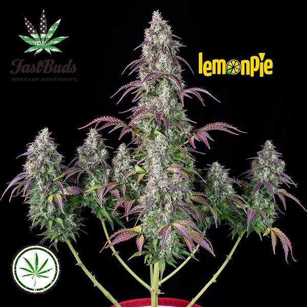 Lemon Pie Auto