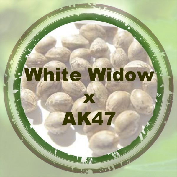 White Widow x AK