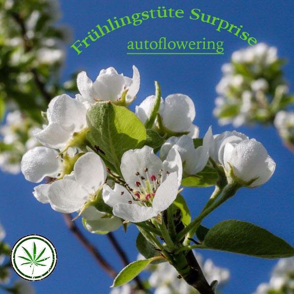 Frühlingsblüte Wundertüte autoflowering